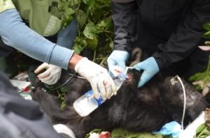 Un bébé gorille pris au piège et secouru par les vétérinaires du PNKB